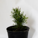 Thuja occidentalis Smaragd - Tuie de Canada