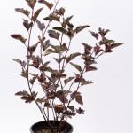 Physocarpus opulifolius Diabolo - Fizocarp Roșu
