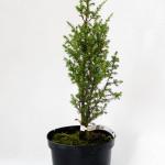 Juniperus communis Hibernica - Ienupărul comun Hibernica